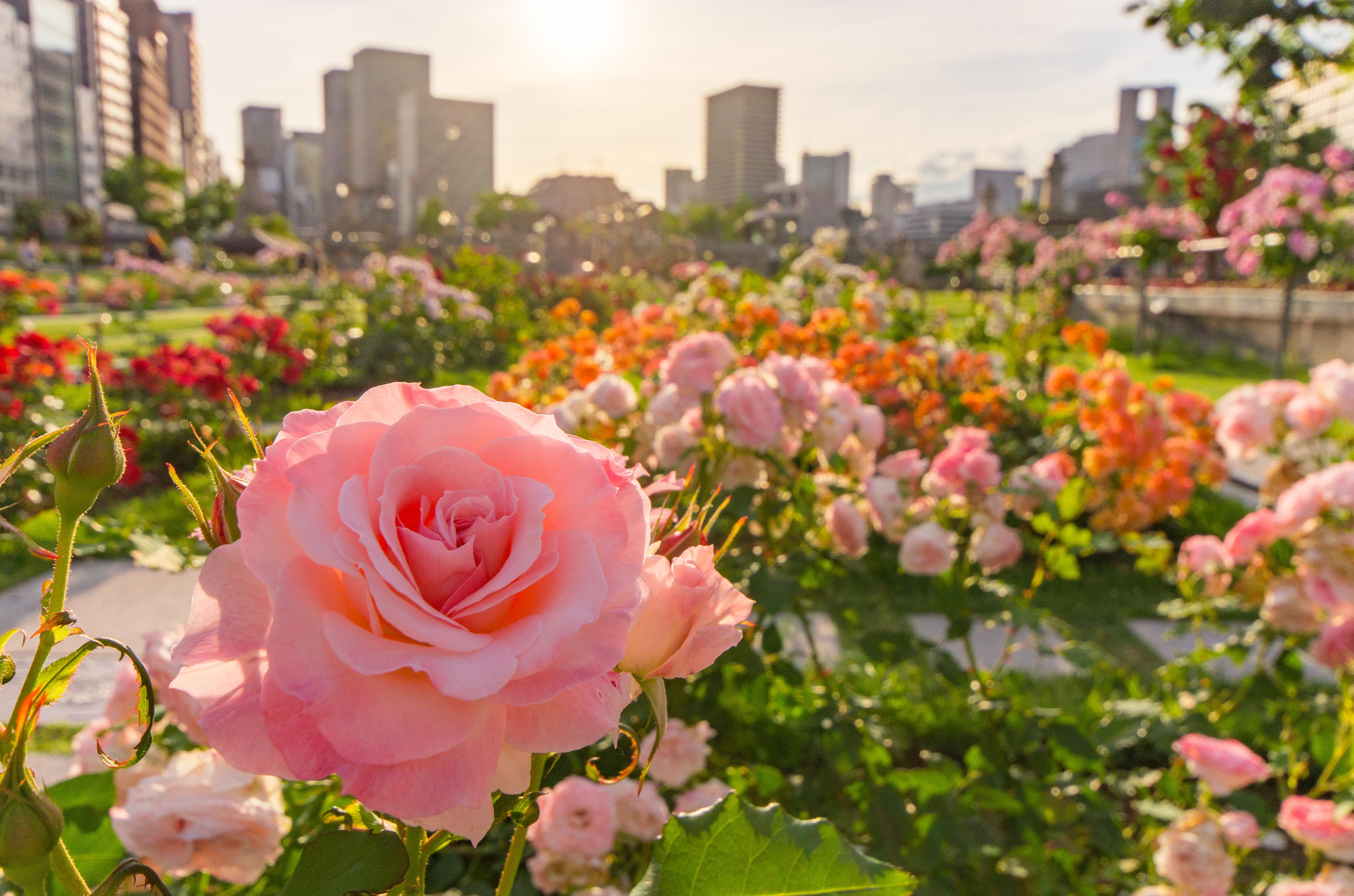 作品名:夕陽に花束を / 撮影場所:中之島バラ園 / 撮影者:AkiraSSSさん