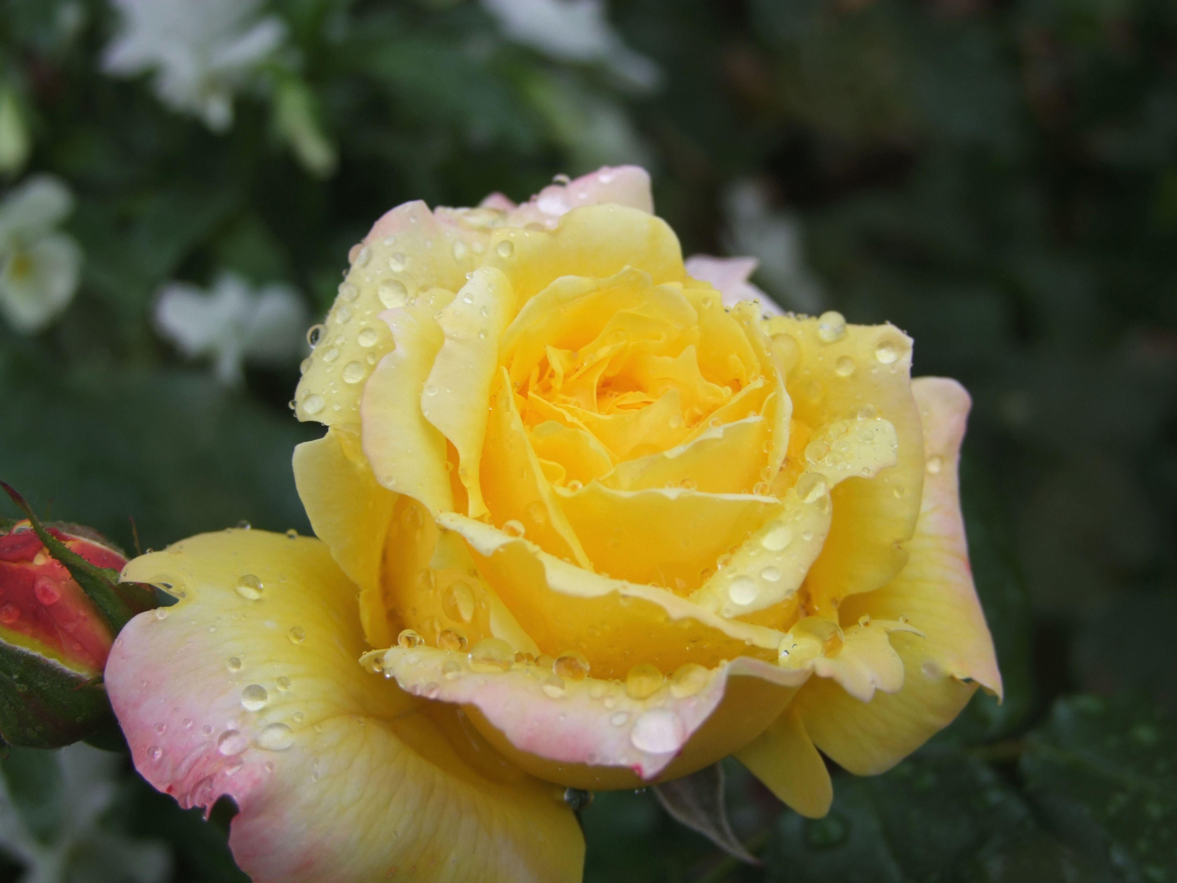 """今回バラ園を撮影したのが1月の為""""5月に見ごろとなる「トロピカルシャーベット」の写真をお借りしました。黄色とピンクの繊細なグラデーションが、とても美しい。★"""